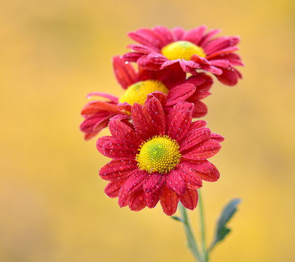 Flowering Plant Flower Freshness Vulnerability  Fragility Beauty In Nature Petal Plant Close-up Flower Head Growth Inflorescence Yellow Nature No People Focus On Foreground Pollen Red Pink Color