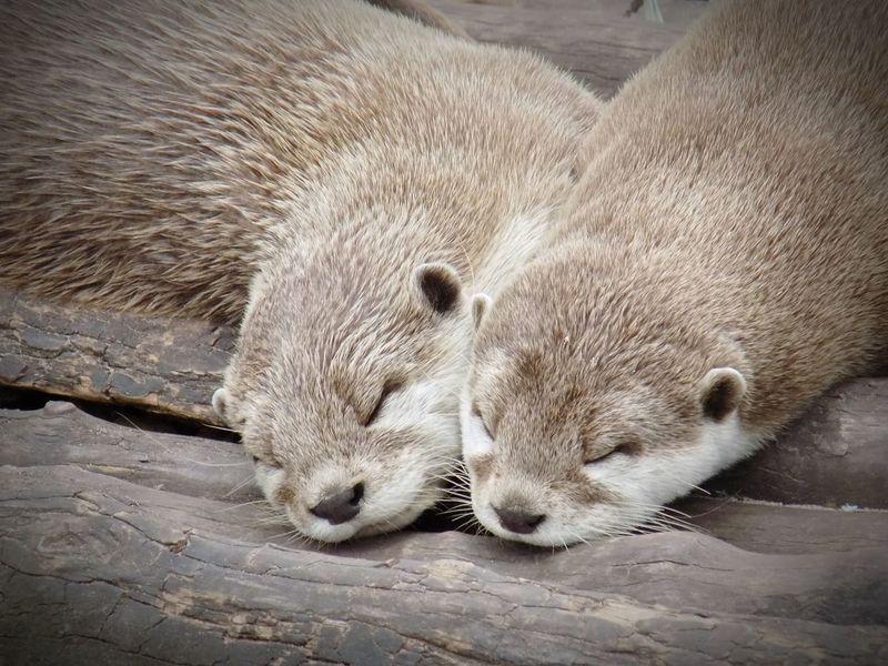 Sleeping Otters EyeEm Nature Lover EyeEm Best Shots Eye4photography  Cute