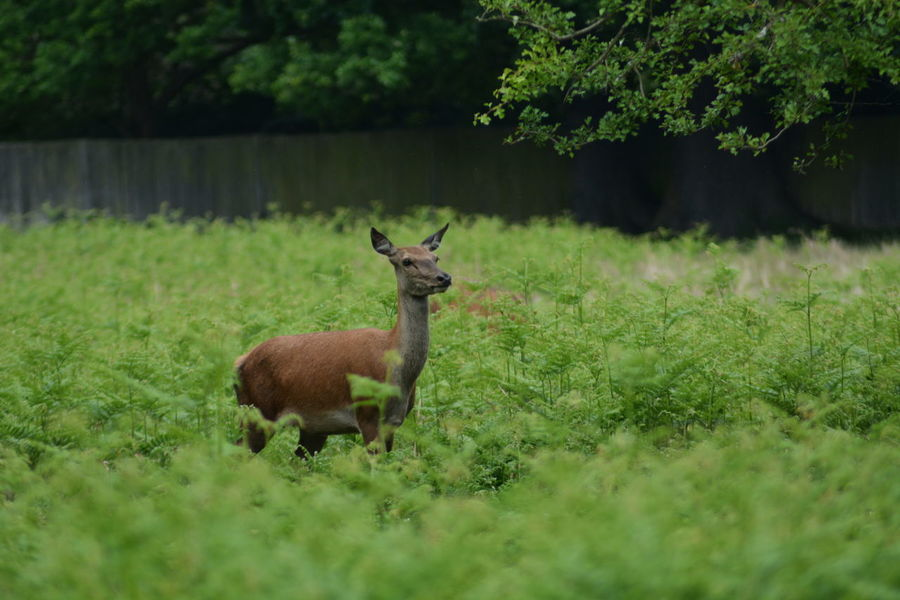 Animal Themes Animal Wildlife Animals In The Wild Beauty In Nature Bushy Park Day Deer Ferns Forest Grass Green Color Growth Mammal Nature No People One Animal Outdoors Plant Stag Tree