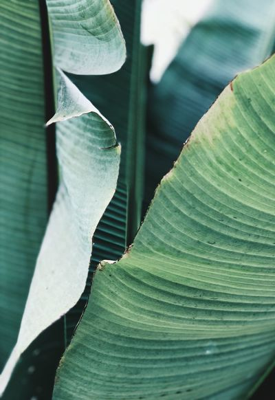 Banana leafs Growth Leaf Plant Part Close-up Plant Green Color No People Day Nature Beauty In Nature Focus On Foreground Outdoors Natural Pattern Leaves Selective Focus Sunlight Leaf Vein Vulnerability  Full Frame