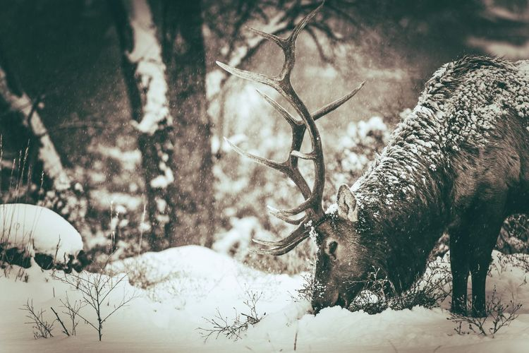 Lone Colorado Elk During Heavy Winter Snowfall. Estes Park, CO, USA Estes Park, CO Elk Deer Animal Animal Wildlife Mammal Animals In The Wild Tree Deer Snow Animal Themes No People Cold Temperature Land Nature Vertebrate Winter One Animal Day Antler Field Outdoors Herbivorous Colorado Sepia