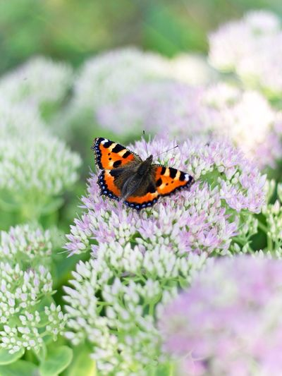 Flower Insect Butterfly Beauty In Nature Nature Schmetterling Blumen Blüten Pastell Live For The Story