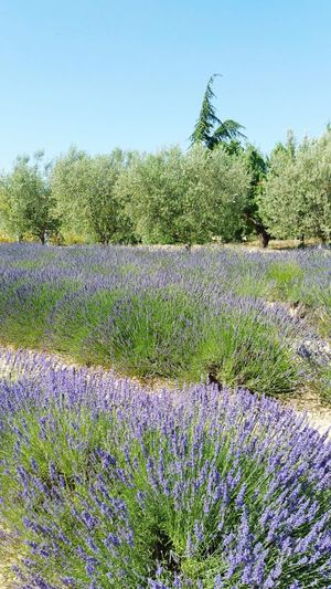 Valensole Lavander Flowers Lanvanda Field Growth Flower Plant Nature Blue Field No People Clear Sky Beauty In Nature Rural Scene Valensole PACA Outdoors Sky Sunlight Bouches Du Rhone France Tranquility