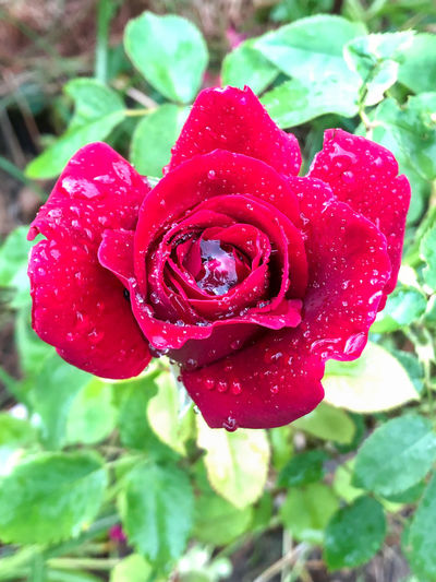 Close-up of red rose with water drops
