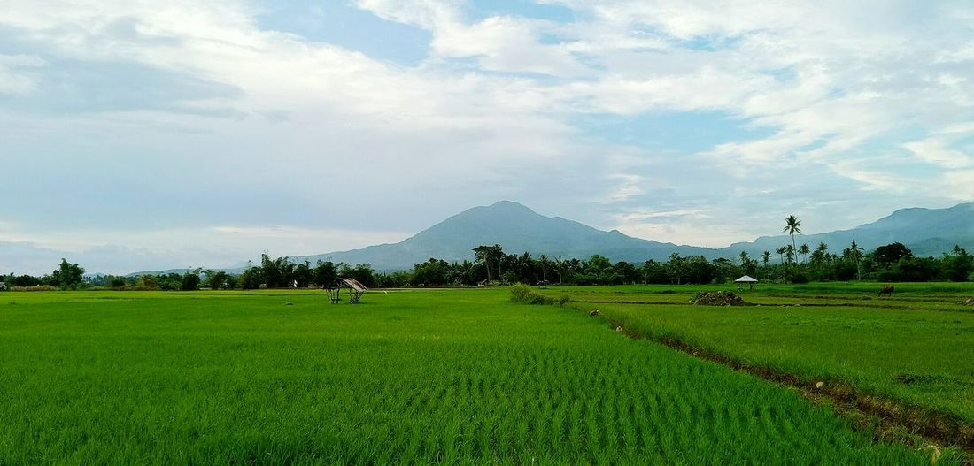 @Naval, Biliran Ricefield View Agriculture Outdoors Scenics Mountain Beauty In Nature Mobile Photography Eyeem Philippines @Naval, Biliran The Week On EyeEm Landscape Natural Beauty Beautiful View