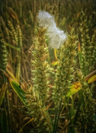 Ruralscenes Cornfield Focus On Macro Beauty Ears Of Wheat Nature Feathers Nature On Your Doorstep Showcase July Outdoor Photography EyeEm Gallery EyeEm Best Shots Naturelovers Beauty In Nature Growth Hdr_captures Hdr_lovers Hdr Edit HDR Hdr_Collection