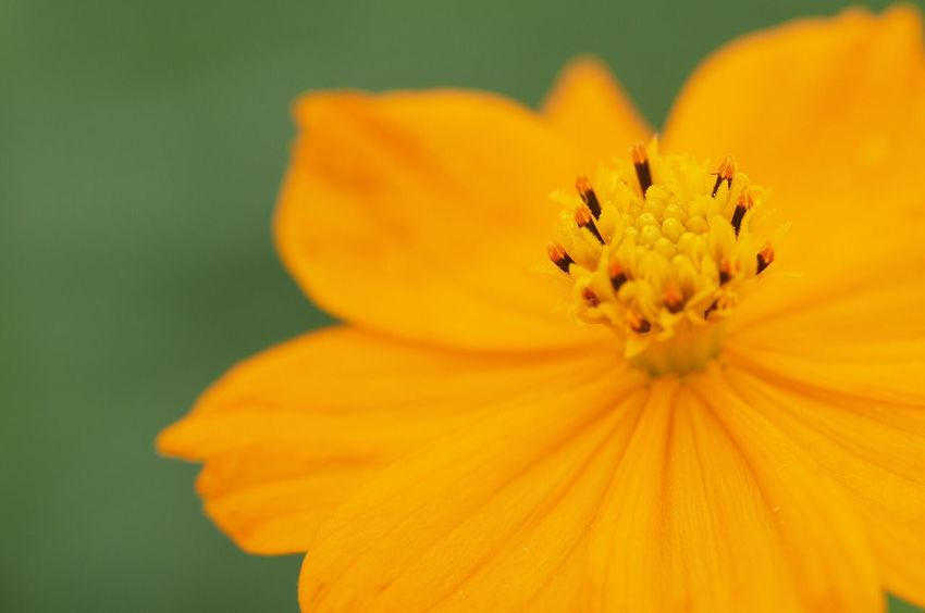 Flower Flower Head Beauty In Nature Nature Orange Color Vibrant Color Macro EyeEm Nature Lover Talking Photos Beautiful ♥