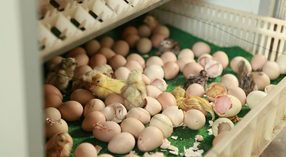 Baby chickens hatching in crate