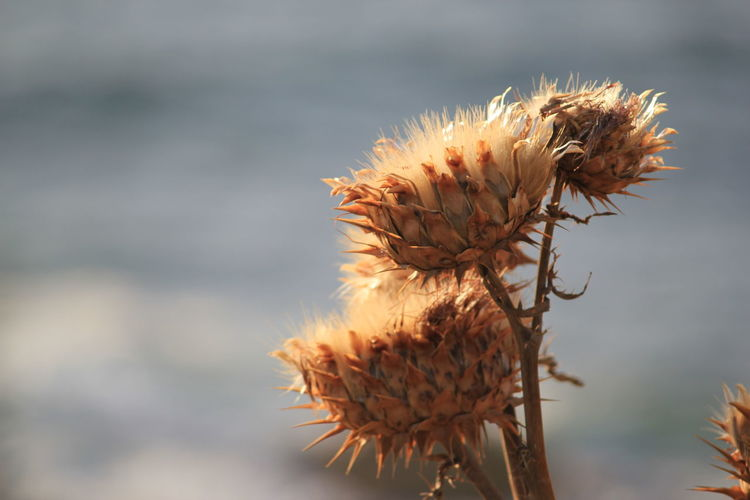 Close-up of wilted thistles outdoors