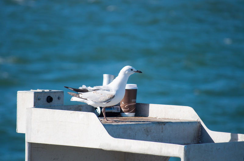 Seagull and a coffee cup together by the water