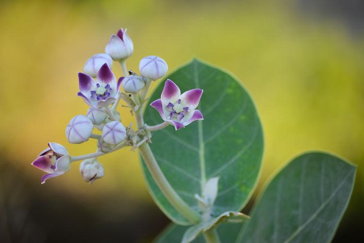 Crown flower in the garden