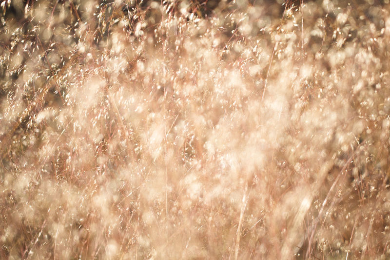 Bokehlicious Bright Golden Abstract Abstract Backgrounds Backgrounds Blurred Motion Bokeh Bokeh Lights Bokeh Photography Close-up Defocused Fields Of Gold Full Frame Golden Hour Nature Pattern Selective Focus Shiny Silver Colored Softness Sunlight Textured  Wind
