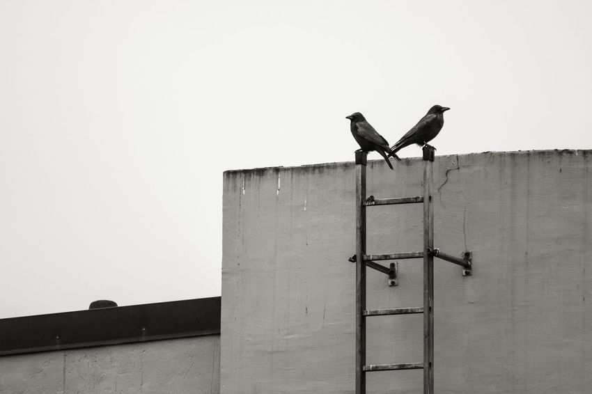 Keeping Watch Animal Themes Autumn Bird Bird Photography Black & White Cold Days Crow Hamburg High Section Keeping Watch Ladder Ladder On The Wall Low Angle View Melancholia Melancholic Melancholy Raven Ravens Roof Rooftops Sternschanze Triste Watch Wildlife Winter