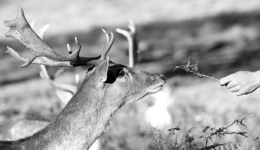 Close-up of hand feeding deer
