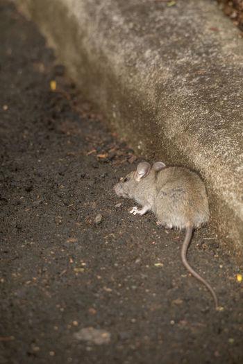 Rat One Animal