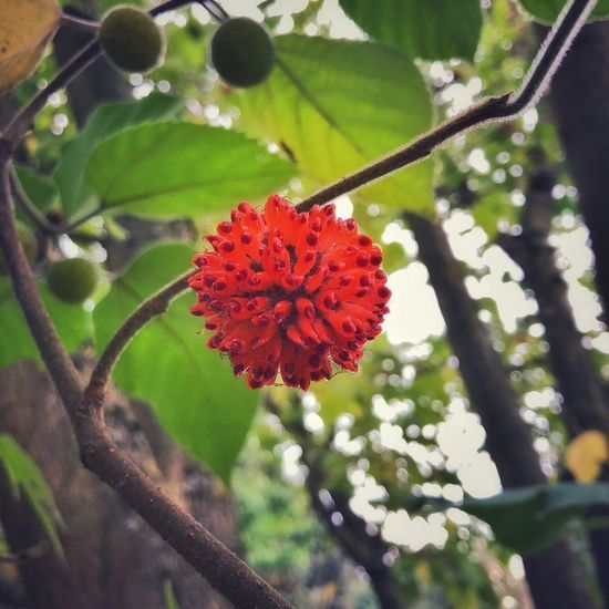 Papier Maulbeerbaum Flowering Tree Close-up