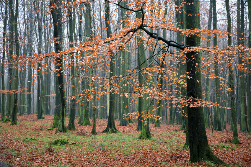 Autumnal forest with fallen leaves Autumn Beauty In Nature Change Day Fall Foliage Forest Growth Leaf Nature No People Non-urban Scene Outdoors Plant Scenics - Nature Tranquil Scene Tranquility Tree Tree Trunk Trunk WoodLand