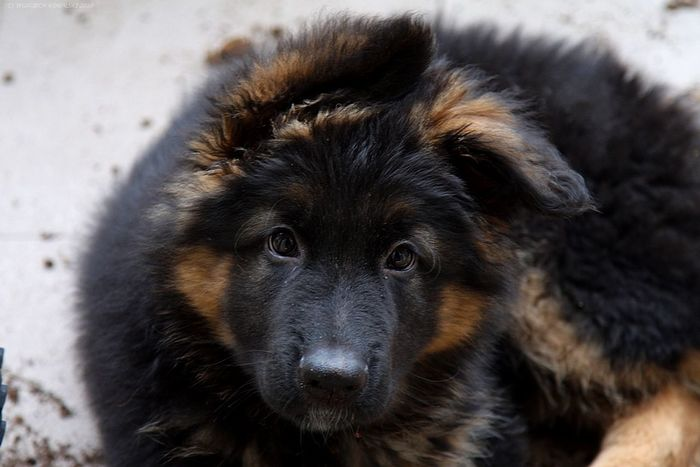Animal Themes Black Close-up Dark Day Dog Domestic Animals Ears Eyes Fluffy German Shepherd GSD Gsdpuppy Looking At Camera Mammal No People One Animal Orange Outdoors Pets Portrait Puppy Sad Small