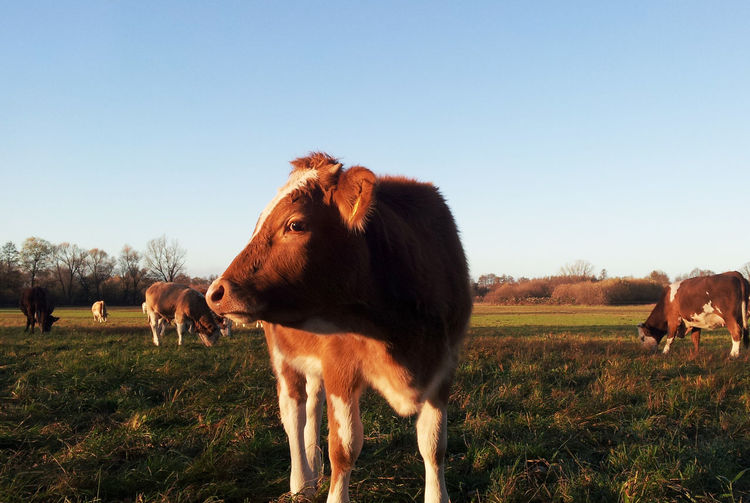 Cows on grassy field against clear sky