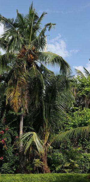 Garden Trees Palm Tree Coconut Tree Green Nature