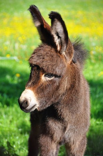 Cute little donkey HEAD Portrait Baby Animals Little Cute Donkey Animal Themes Animal One Animal Mammal Vertebrate Animal Wildlife Close-up No People Domestic Animals Land Field Day Animal Body Part Nature Focus On Foreground