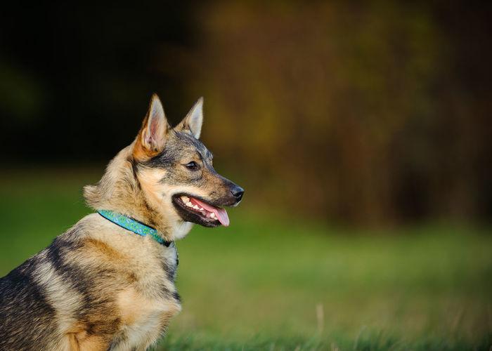 Swedish Valhund dog Animal Themes Day Dog No People One Animal Rare Breed  Swedish Valhund