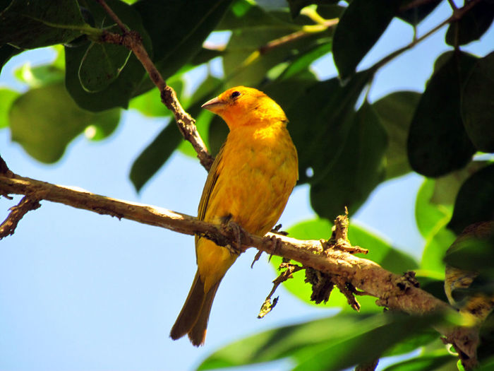 Canario-da-terra-verdadeiro Animal Wildlife Animals In The Wild Beauty In Nature Bird Bird Photography Birds Birdwatching Branch Branch Of A Tree Branches Branches And Leaves Canary Close-up Leaf Low Angle View Nature No People Outdoors Perched Perching Perching Bird Perching On A Branch Yellow Yellow Bird Yellow Color