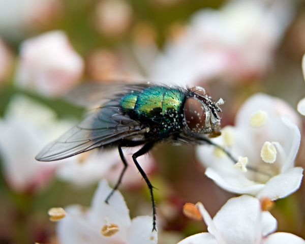 House Fly Fly Diptera Insect Macro