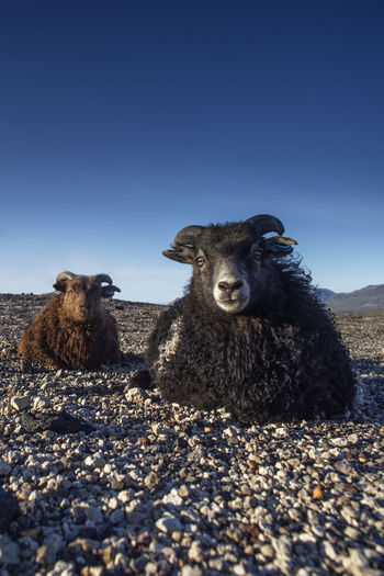 Portrait of sheep on field against clear sky