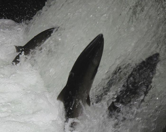 BC, Canada Salmon Ladder Animal Themes British Columbia Fish Fish BC No People Salmon Salmon Swimming Salmon Upstream Waterfall Wild Fishing