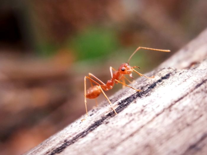 Animal Body Part Animal Themes Ant Close-up Day Focus On Foreground Insect Invertebrate No People One Animal Orange Color Selective Focus