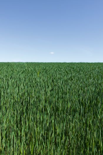 Scenic view of wheat field against clear blue sky