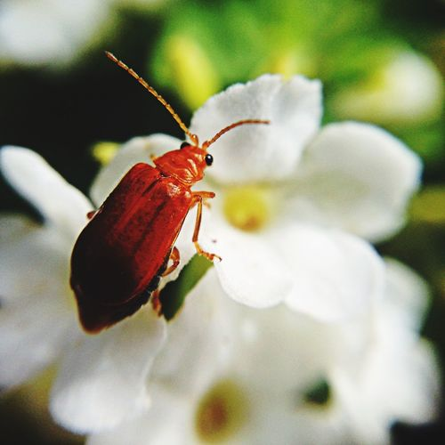 Close-up of beetle on white flower
