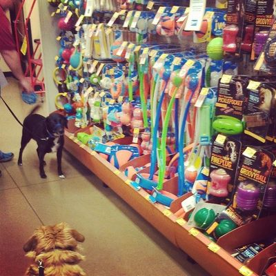 shopping for new toys Petsmart Dogsofinstagram