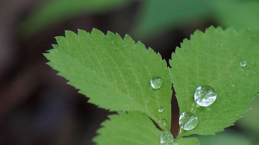 小さな…小さな 葉っぱ ちゃんの可愛い 雫 ちゃん(*^^*) EyeEm Nature Lover Nature Waterdrops Leaf 葉っぱふぇち