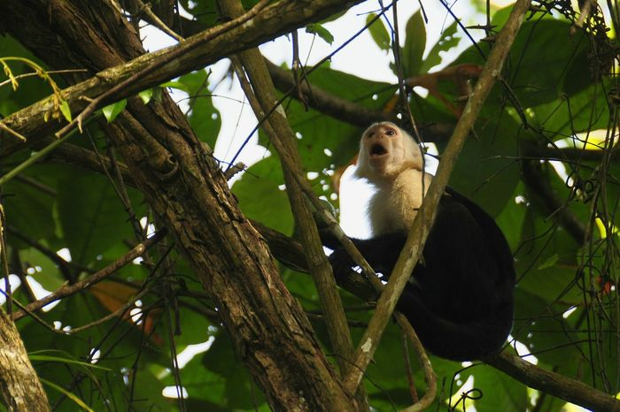 Cappucin Monkey Calling Out to its fellow monkeys Cahuita Costa Rica (c) 2015 Shangita Bose All Rights Reserved Snbcr Natural Light Portrait 43 Golden Moments