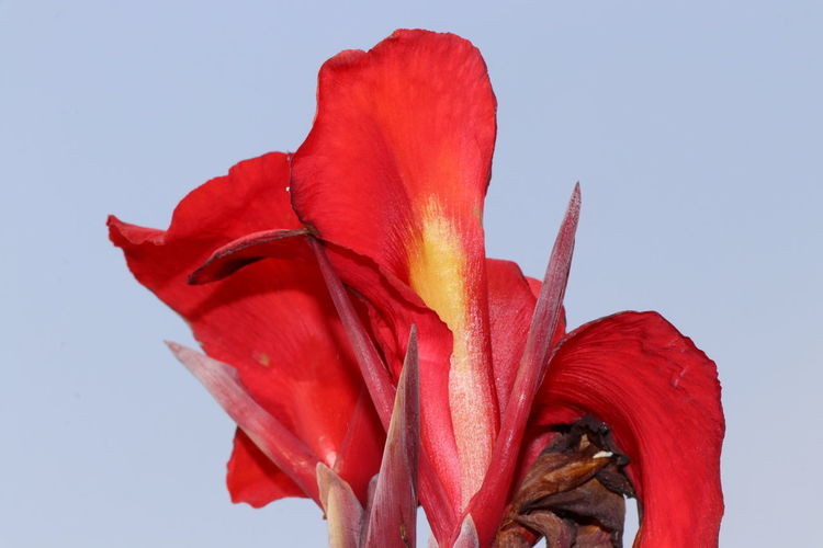 Close-up of red rose flower against clear sky