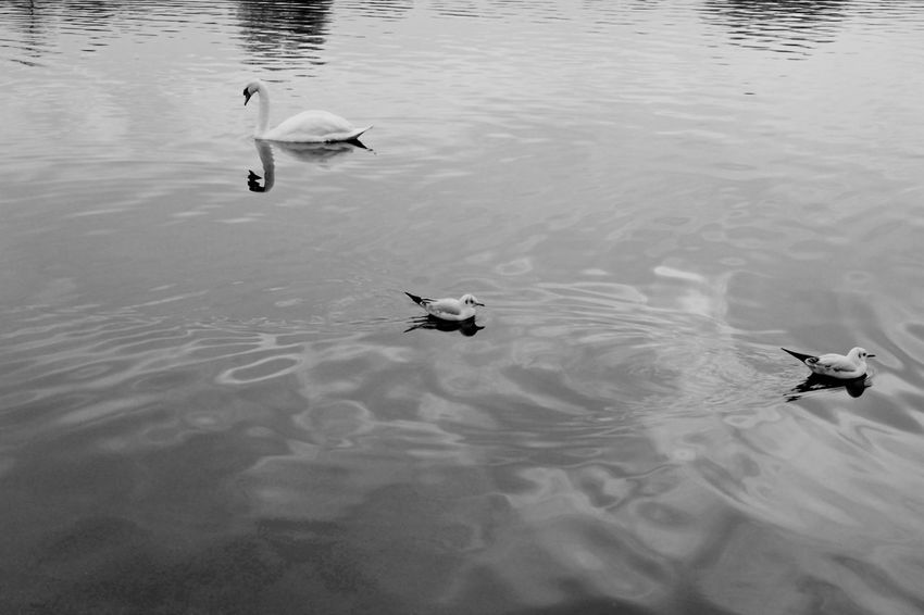 One day, I saw swans on the Serpentine lake in London Animal Themes Blackandwhite Photography Blak And White Courant Cygne Enjoying Life Lac Lake Nature Nature No People Reflection Reflet Reflets Dans L Eau Serpentine @hyde Park Swan Water Water Bird