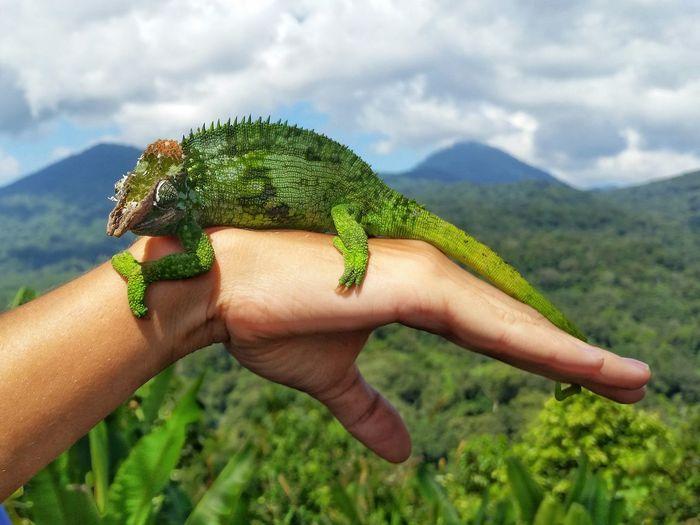 Look what I've got! Amazingindonesia Bali Nature Wildlife & Nature PhonePhotography Hameleon Lotsofgreen Natureonyourhand Hands EyeEm Nature Lover EyeEm Best Shots Eyemmarket EyEm Selects