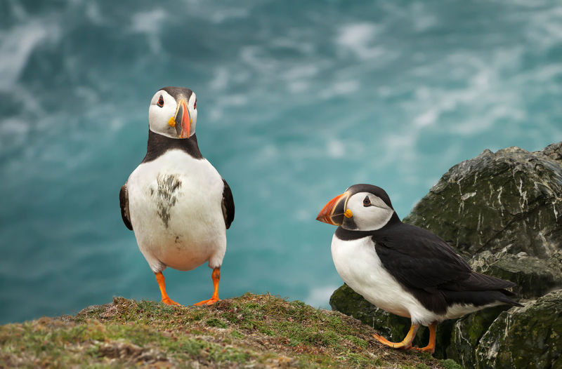 Puffins by sea on rock