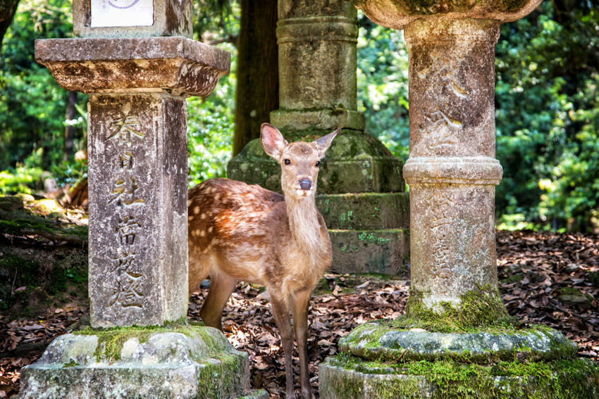 Animal Cute Deer Deerpark Japan Japanese Culture Nara Nikon Travel Travel Destinations Trip