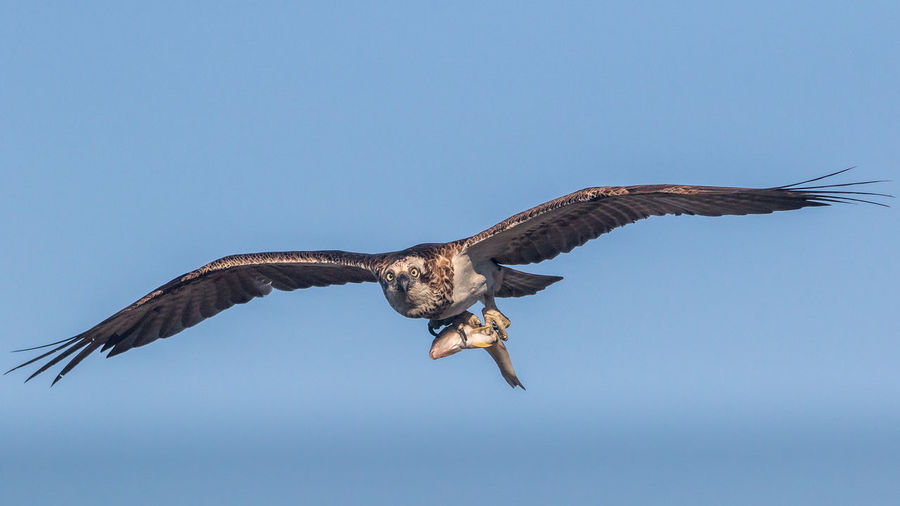 Eagle carrying fish in clear blue sky