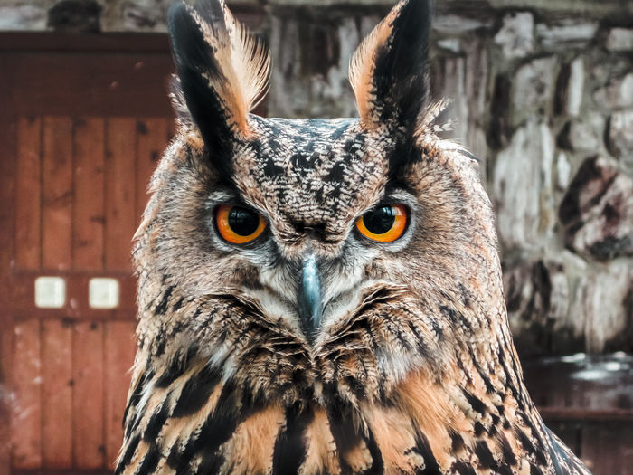 Animal Head  Animal Themes Animal Wildlife Animals In The Wild Beak Bird Bird Of Prey Close-up Day Feather  Focus On Foreground Looking At Camera Nature No People One Animal Outdoors Owl Portrait Yellow Eyes