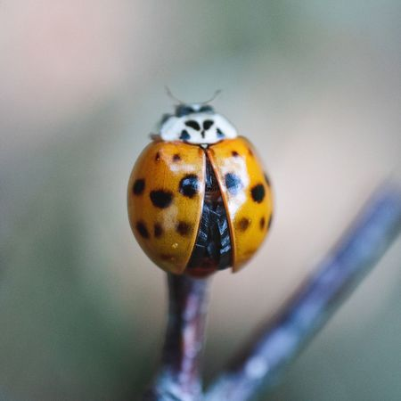 Insect Animal Themes Invertebrate One Animal Animal Close-up Animal Wildlife Beetle Ladybug No People Nature Yellow