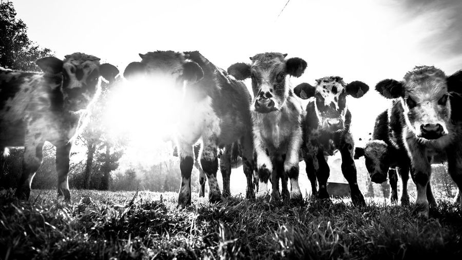 Backlit Nature Bnw Nature Morning Light Calves Cows In A Field Agriculture Crowd Large Group Of Animals Grass Nature Field Group Of Animals Livestock Domestic Animals Domestic Against The Light After Sunrise