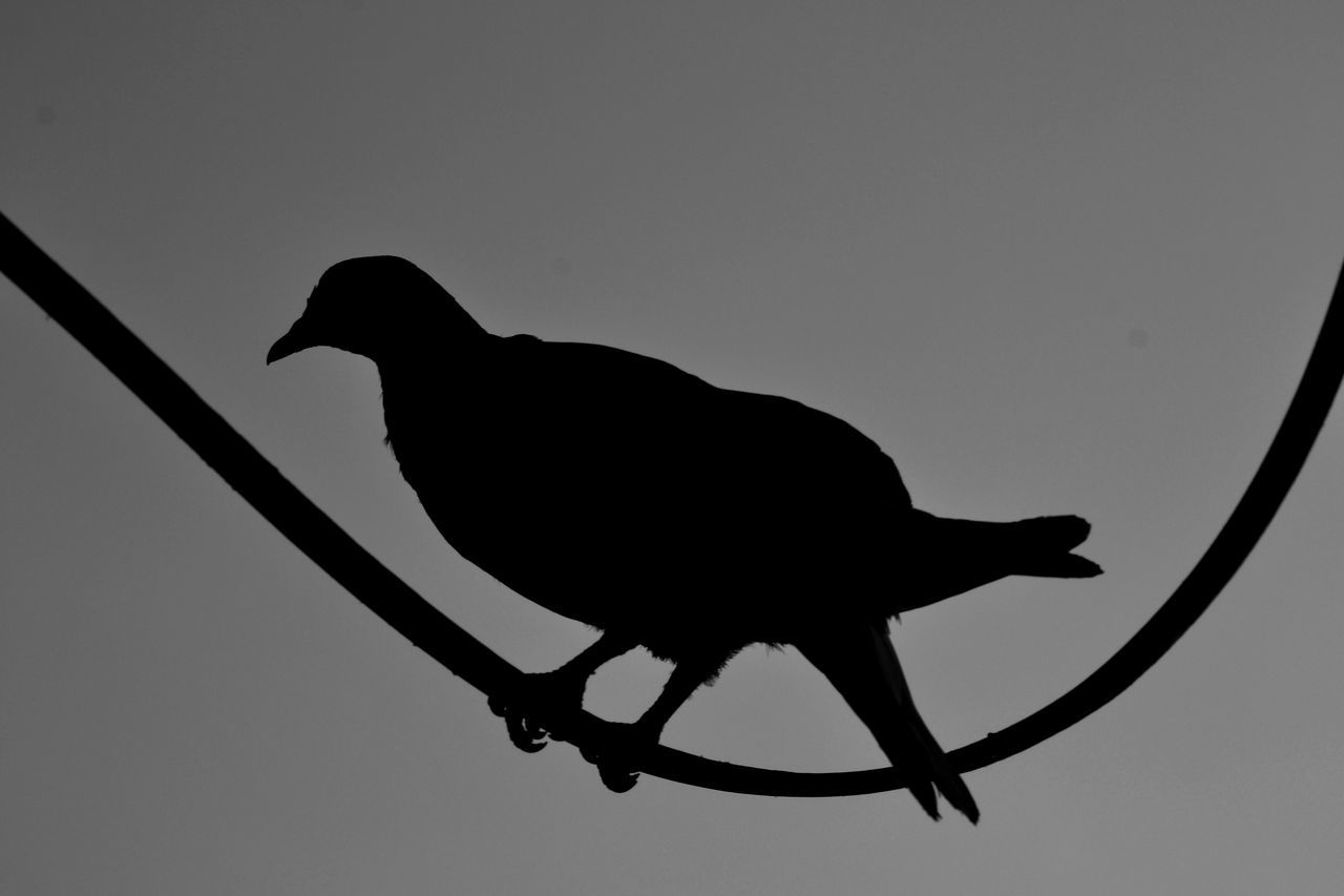 silhouette, animal themes, one animal, copy space, no people, low angle view, animals in the wild, bird, clear sky, animal wildlife, close-up, perching, nature, outdoors, day, sky