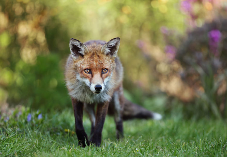 Portrait of fox standing in forest