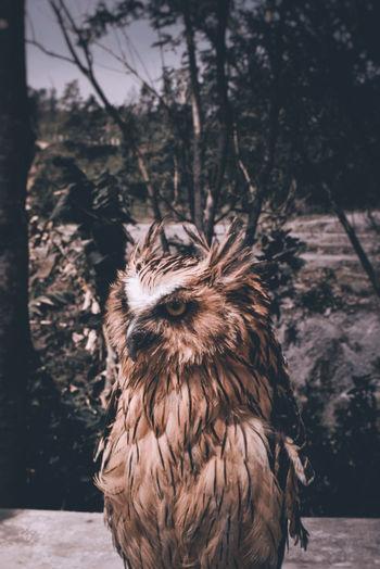 // owl Moodygrams Roamtheplanet Exploreindonesia Folkindonesia Exploretocreate Jogja Yogyakarta Animal Wildlife Animal Animal Portrait Folkportraits Portrait Owl Bird Close-up