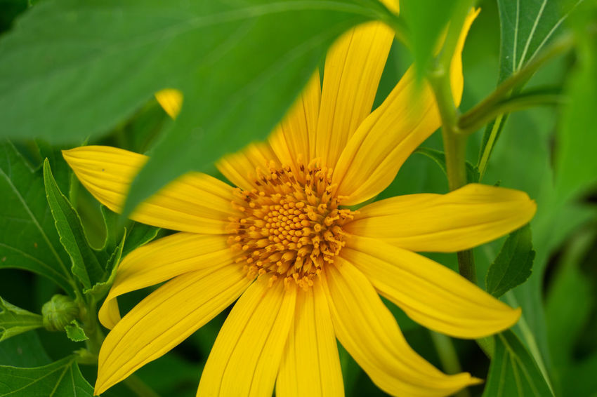 Flowering Plant Flower Fragility Vulnerability  Flower Head Freshness Plant Petal Yellow Inflorescence Growth Beauty In Nature Close-up Pollen Nature Day No People Plant Part Leaf Gazania