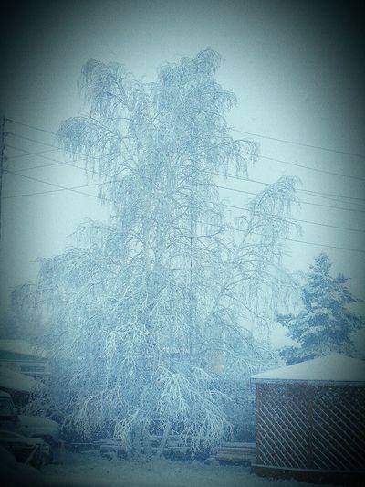 Winter Tree Yakutia